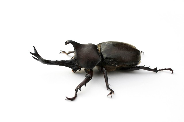 カブトムシのケースの白い虫は何?ダニ退治の奥義に迫る