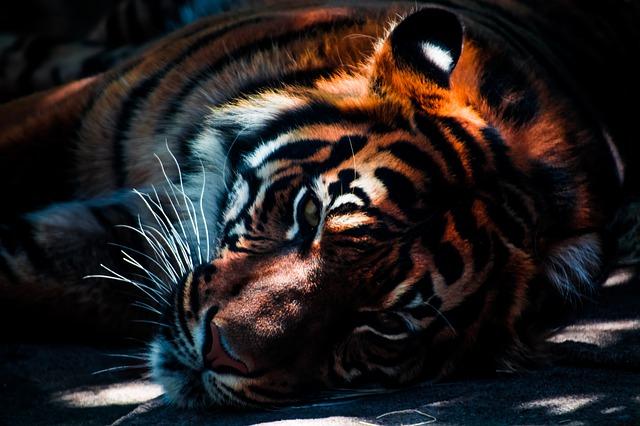 tiger-768574_640